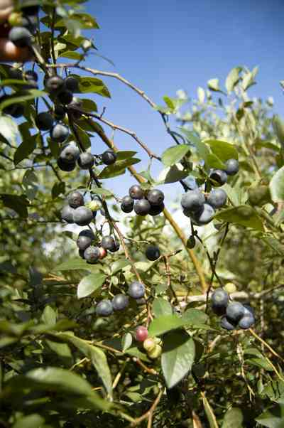 07_26_07+Blueberries_03+WEB.jpg:  farm, blueberries, crop, escambia county,