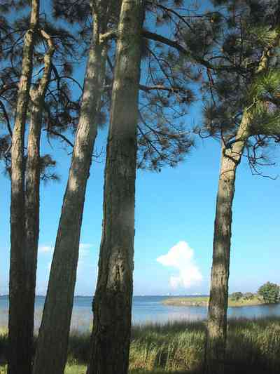 Gulf-Breeze:-Ceylon-Drive_03a.jpg:  pine trees, salt marsh, sawgrass, short leaf pine trees, bay, sound, tiger point development