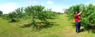 Hollandtown:-Holland-Farm:-Peach-Orchard_01.jpg:  farmland, peaches, orchard, crop, holland town, farmer