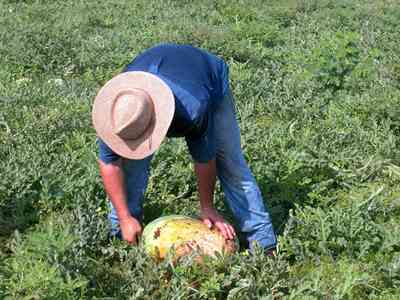 Hollandtown:-Holland-Farm:-Watermelon-Patch_01.jpg:  watermelon patch, watermelon vine, picking watermelons, blue jeans, straw hat, farmer, sandy-loam soil ,