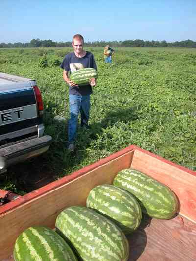 Hollandtown:-Holland-Farm:-Watermelon-Patch_01d.jpg:  watermelon patch, watermelon vine, farmer, farmland, farm worker,