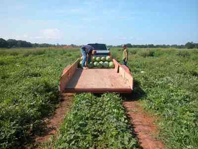 Hollandtown:-Holland-Farm:-Watermelon-Patch_02a.jpg:  watermelon patch, watermelon vine, farmer, farmland, farm worker, vines,