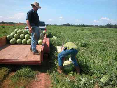 Hollandtown:-Holland-Farm:-Watermelon-Patch_02h.jpg:  watermelon patch, watermelon vine, farmer, b. j. hollandfarmland, farm worker, ,