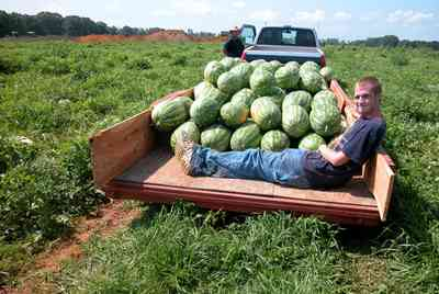 Hollandtown:-Holland-Farm:-Watermelon-Patch_02m.jpg:  watermelon patch, watermelon vine, farmer, trailor,  farmland, farm worker, watermelon seeds,