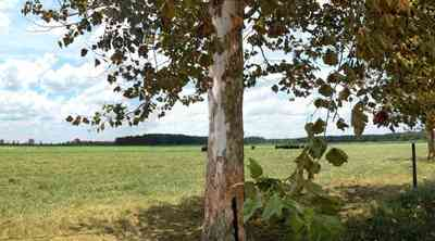 Hollandtown:-Sundance-Farm_02.jpg:  sycamore trees, cattle, cows, beef cattle, county road, fence, pasture, farm, farmers, santa rosa county,