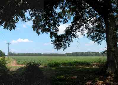 Jay:-Market-Road-Farm_06.jpg:  oak tree, cotton field, country road, farm, farmland, farm house, santa rosa county