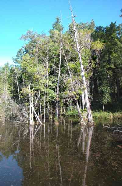 Milton:-Pond-Creek_05.jpg:  cypress trees, swamp, marsh, pine trees, park preserve, wetland, white cedar trees, pitcher plant prairie