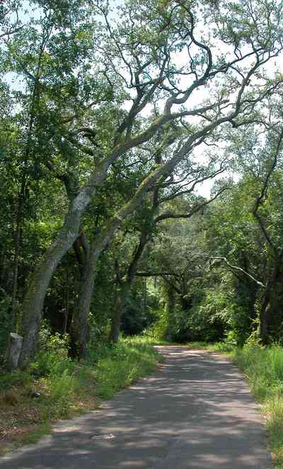 Milton:-Womack-Road_05.jpg:  oak trees, narrow road, country road, forest, oak tree,