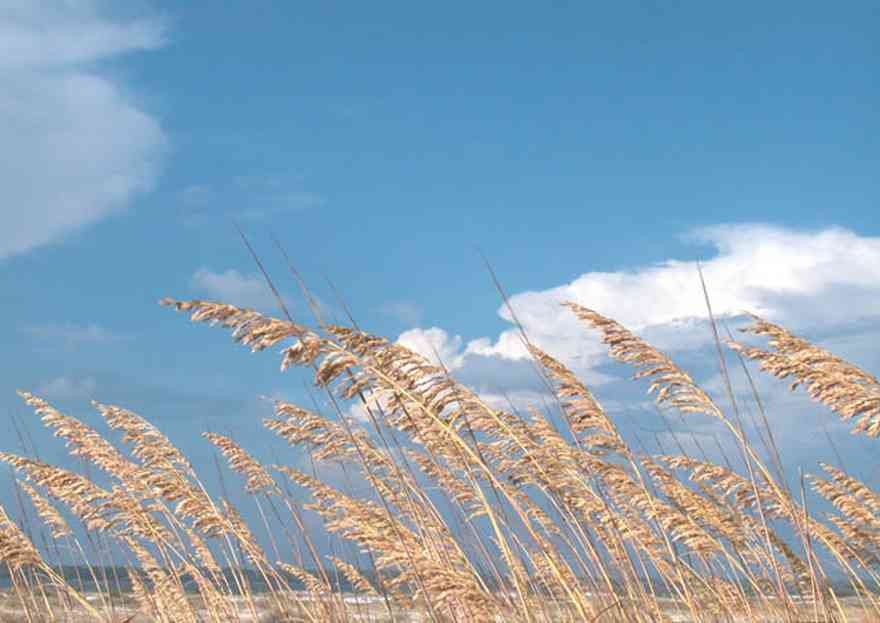 Pensacola-Beach:-Sea-Oats_01.jpg:  sea oats, cumulus clouds, beach, sand dunes, gulf of mexico