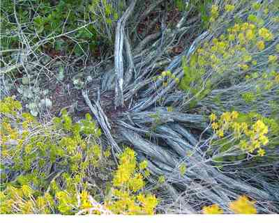 Perdido-Key:-Pine-Barrens_06.jpg:  groundcover,  florida rosemary, sand dune, coastal forest