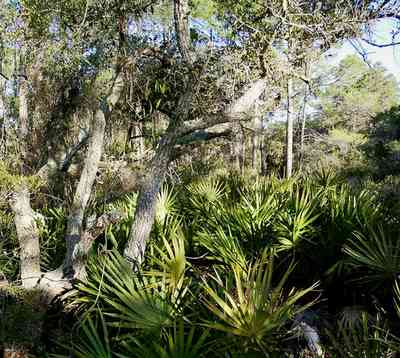 Perdido-Key:-Pine-Barrens_08.jpg:  saw palmetto, oak tree, sand scrub forest, gulf coast, peninsula, key