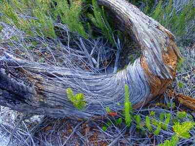 Perdido-Key:-Pine-Barrens_20.jpg:  gulf coast, pine stump, florida rosemary, sand pine scrub forest, sand dunes