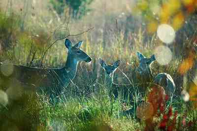 deer+edit.jpg:  deer, sundes, thread dews, pitcher plants, swamp coreopis, tickseed, roserush, beakrush, verbesina ,