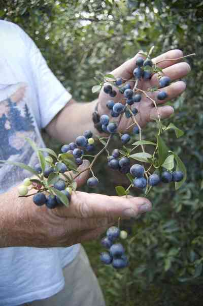 07_26_07+Blueberries_02+WEB.jpg:  farm, blueberry, crop, plant, cultivation,