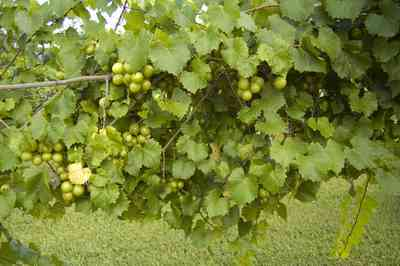 muscadine+grapes+WEB.jpg:  grapes, wine, jelly, arbor, farm,