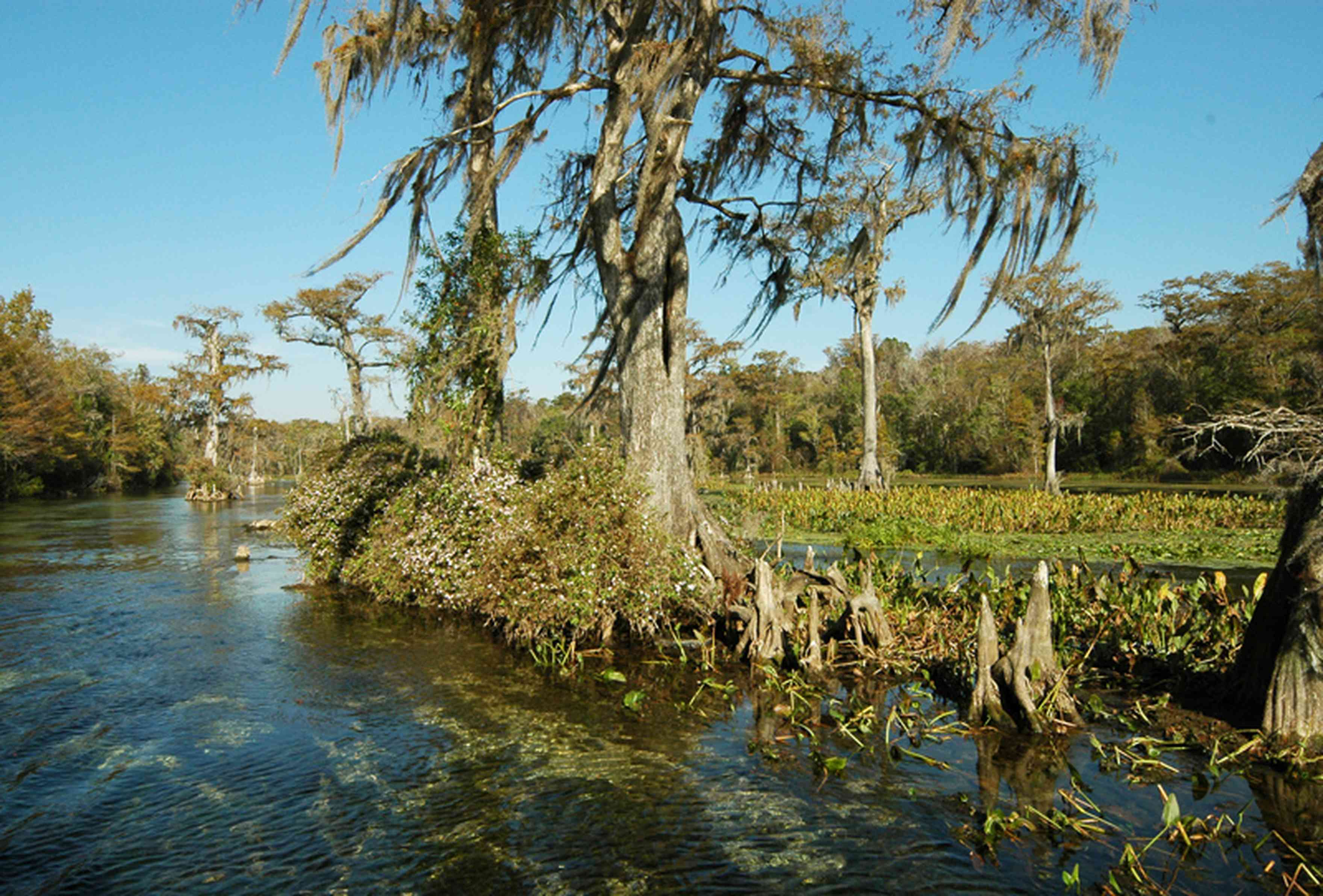 Perdido+River+Swamp_03.jpg:  cypress trees, cypress knees, spanish moss, river, marsh wetlands, forested wetlands, maritime forest ,