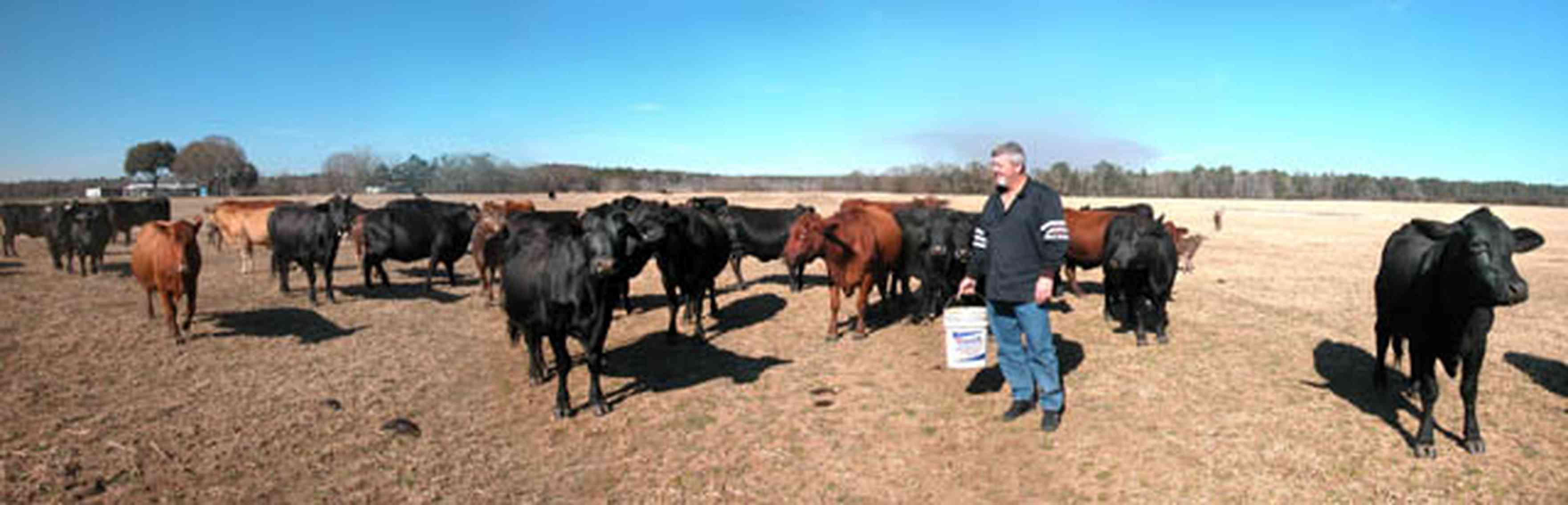 Allentown:-Mathews-Cow-Pasture_02.jpg:  beef cattle, black angus cattle, field, pasture, cows, feeding cows, farmer, steve matthews, ,