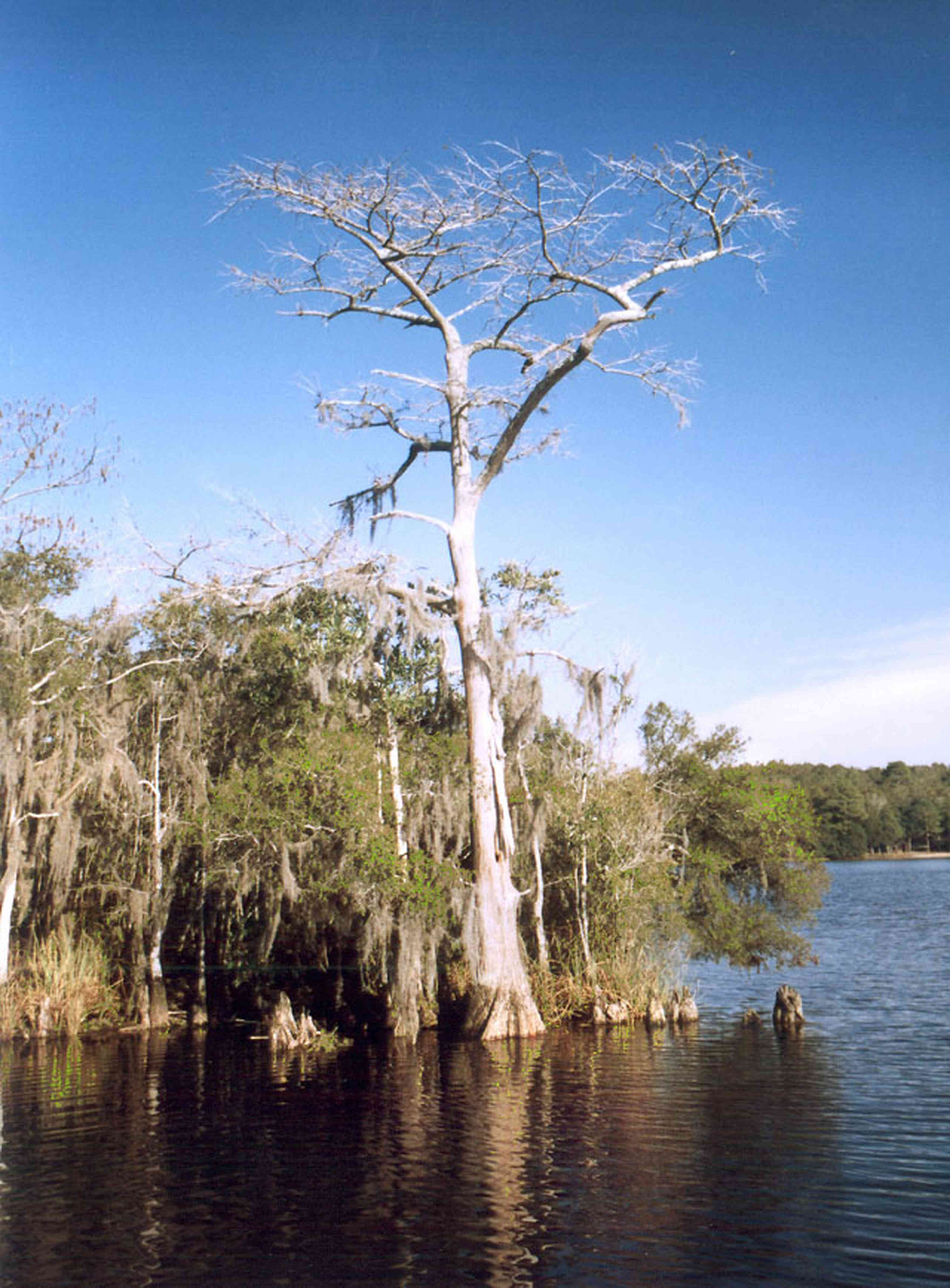 Blackwater-River-State-Park:-Blackwater-River_03.jpg:  gulf coast, cypress tree, swamp, forest, park