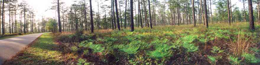 Blackwater-River-State-Park:-Pine-Forest_01.jpg:  ferns, long-leaf pines, park, two-lane road, curving road, hilly road