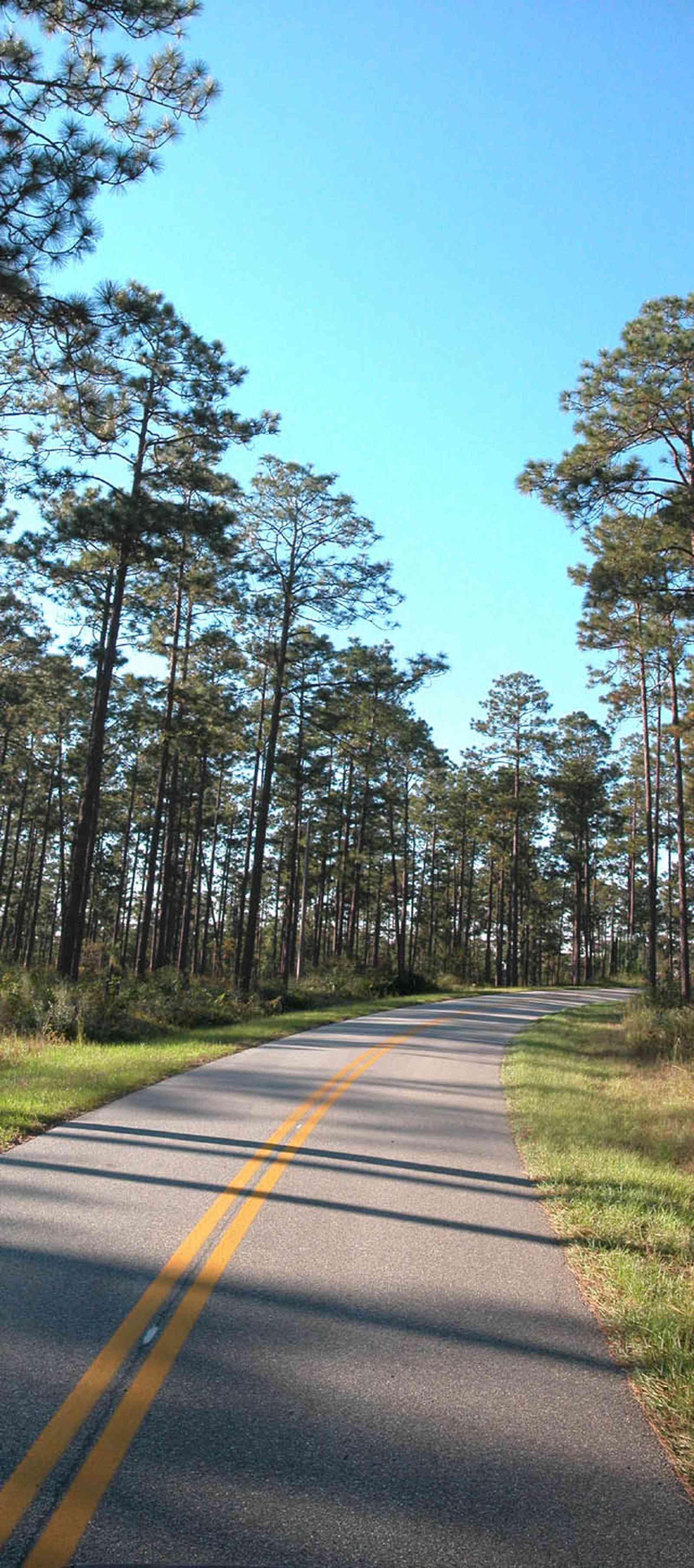 Blackwater-River-State-Park:-Pine-Forest_10.jpg:  forest, long-leaf pine tree, hearwood pine, two-lane road, country road, bracken fern