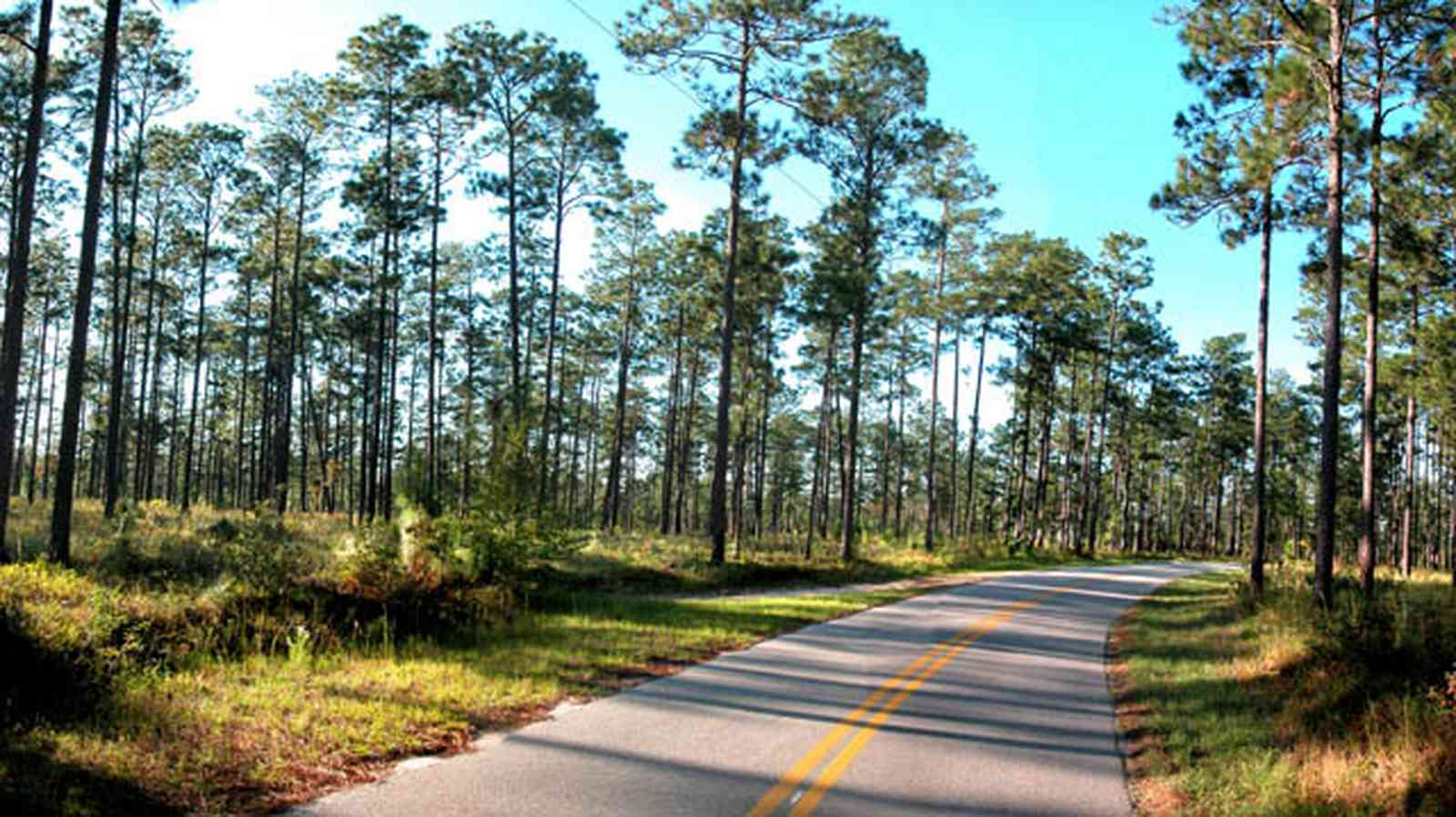 Blackwater-River-State-Park:-Pine-Forest_12.jpg:  forest, county road, long-leaf pine trees, heart pine, bracken fern, wire grass