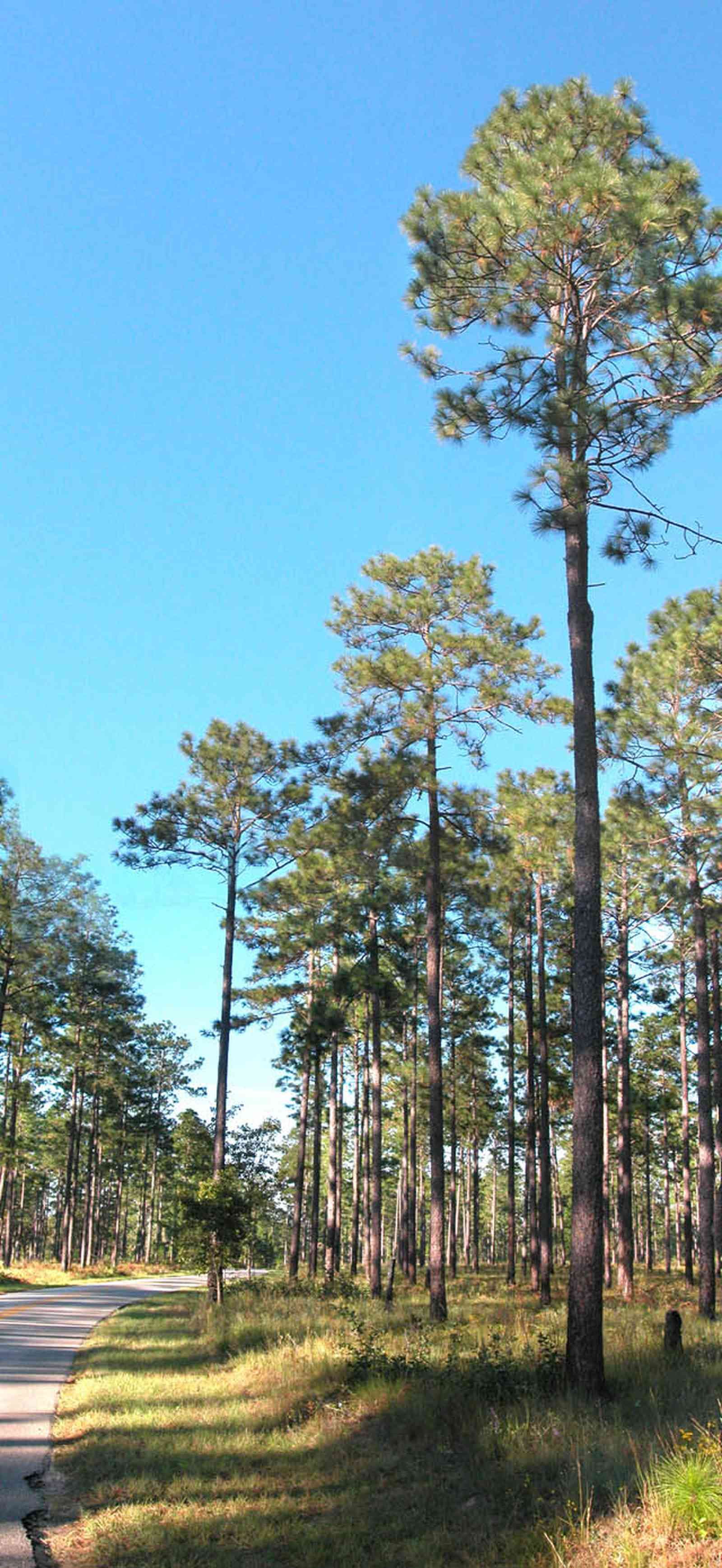 Blackwater-River-State-Park:-Pine-Forest_13.jpg:  pine forest, long leaf pines, forest, winding road, country road, bracken fern