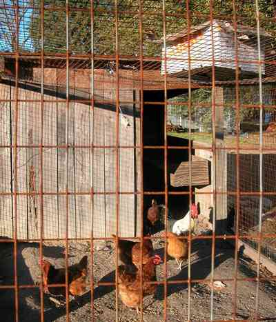 Century:-Brown-Farm_09b.jpg:  laying hens, chickens, eggs, farm, pecking, rooster