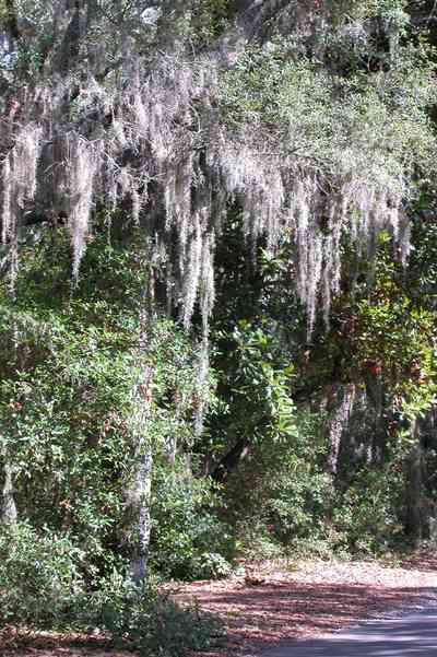 Gulf-Breeze:-Shoreline-Park-South_06.jpg:  spanish moss, oak trees, park, country road, two-lane road