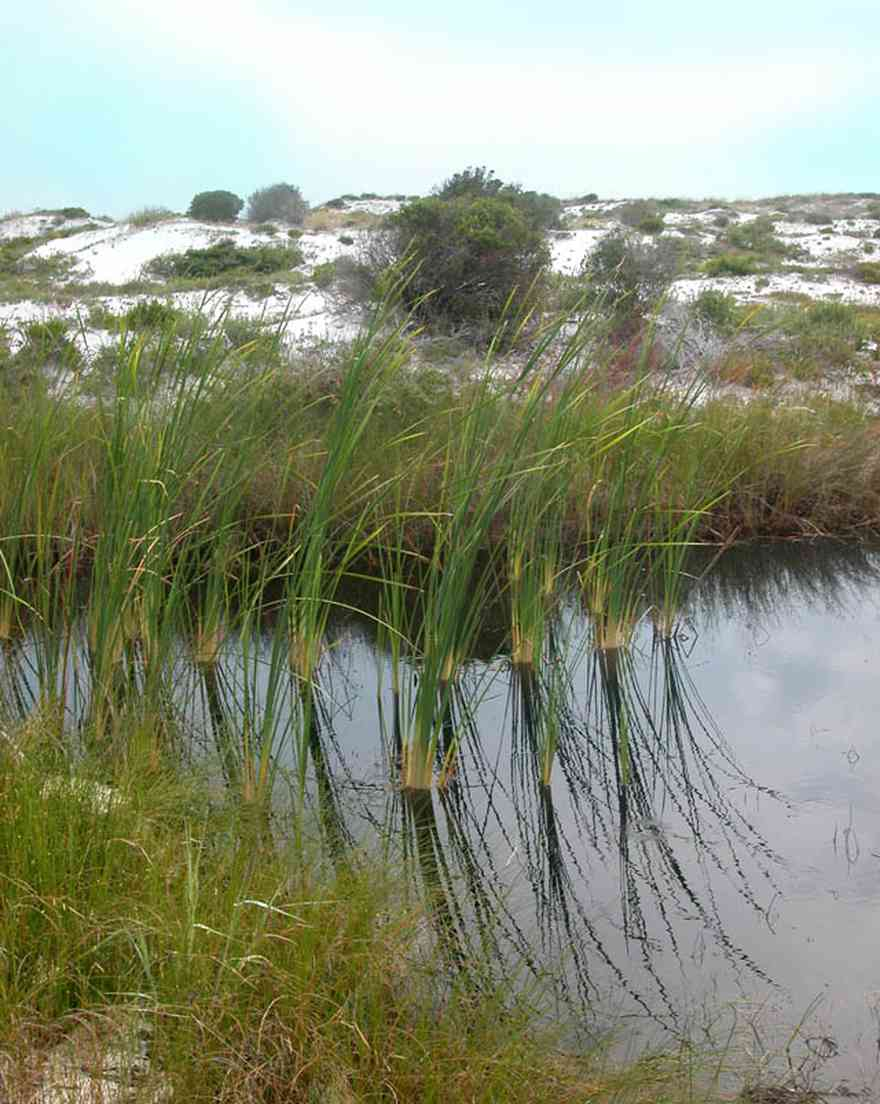 Gulf-Islands-National-Seashore:-Nature-Trail-Campstore_01.jpg:  leafless sedge, sundew, sawgrass, sea oats, barrier island, dwarf trees, sand dunes, salt spray, drifting sand
