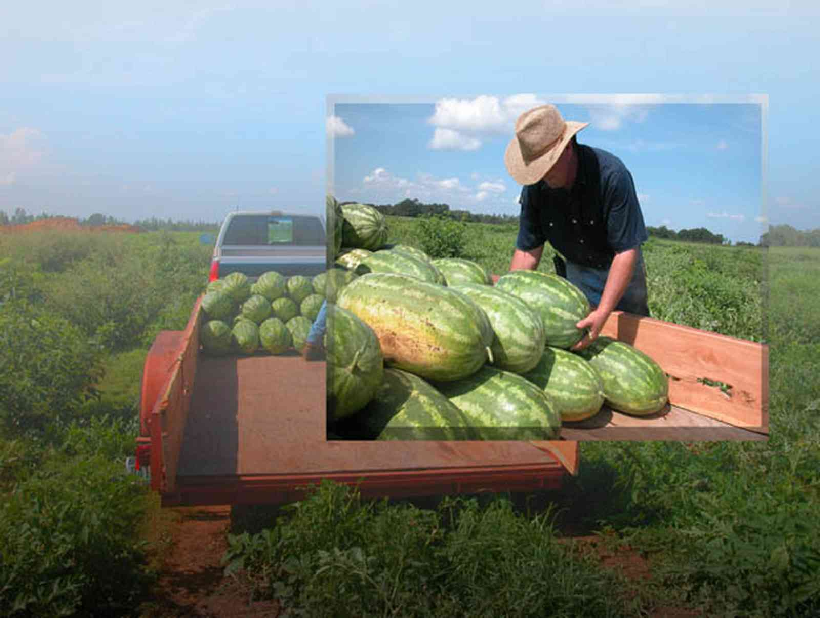 Hollandtown:-Holland-Farm:-Sales_20.jpg:  watermelons, royal star watermelon, starbright watermelon, farm, straw hat, row crops, field, cultivation, truck, trailer, pick-up truck, melon, farmer ,