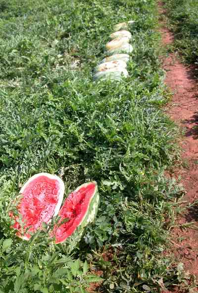Hollandtown:-Holland-Farm:-Watermelon-Patch_00a.jpg:  watermelon patch, watermelon vine, farmland, farm, tendrils, red clay soil,