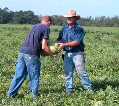 Hollandtown:-Holland-Farm:-Watermelon-Patch_01b.jpg:  watermelon patch, watermelon vine, farmer, farmland, farm worker,