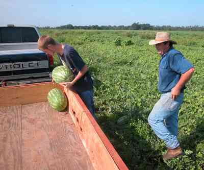 Hollandtown:-Holland-Farm:-Watermelon-Patch_02.jpg:  watermelon patch, watermelon vine, farmer, farmland, farm worker,