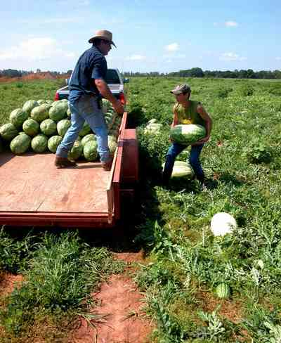Hollandtown:-Holland-Farm:-Watermelon-Patch_02i.jpg:  watermelon patch, watermelon vine, farmer, farmland, b. j. holland, farm worker,