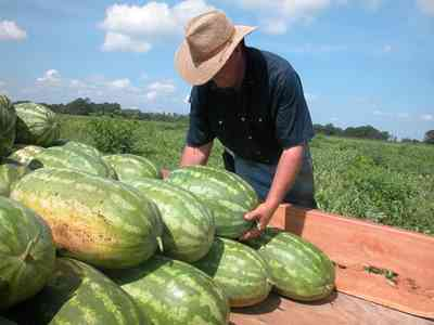 Hollandtown:-Holland-Farm:-Watermelon-Patch_02n.jpg:  watermelon patch, watermelon vine, farmer, farmland, farm worker, harvest, ripe,