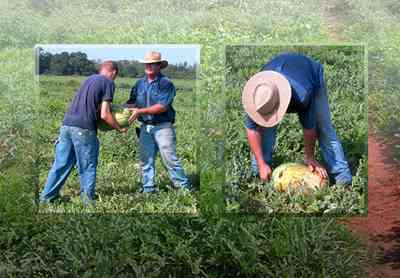 Hollandtown:-Holland-Farm:-Watermelon-Patch_21.jpg:  harvest, farm produce, watermelon vines, farmer, beta-carotene, watermelon,