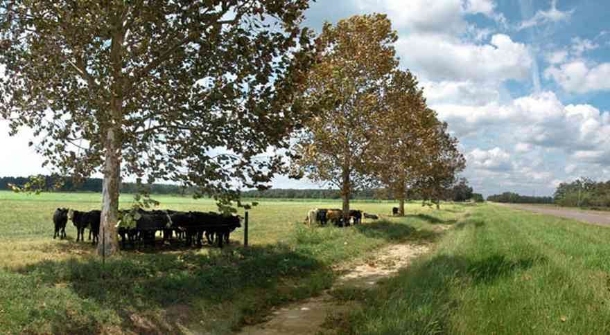 Hollandtown:-Sundance-Farm_01.jpg:  sycamore trees, cattle, cows, beef cattle, county road, fence, pasture, farm, farmers, santa rosa county