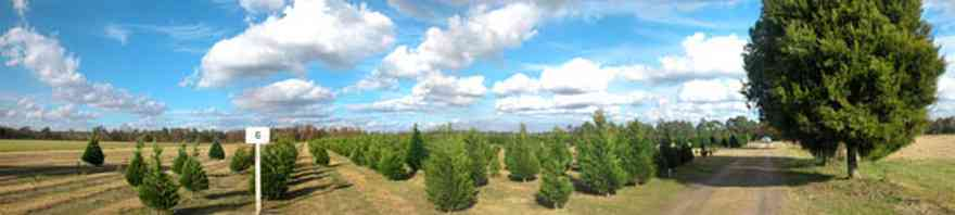 Milton:-Christmas-Tree-Farm_01.jpg:  christmas tree, fir tree, cumulus clouds, cedar tree, row of trees, dirt road