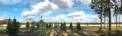 Milton:-Christmas-Tree-Farm_02.jpg:  christmas tree, fir tree, cumulus clouds, cedar tree, row of trees, dirt road