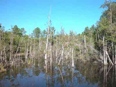 Milton:-Pond-Creek_04.jpg:  cypress swamp, pond, creek, marsh, pine trees