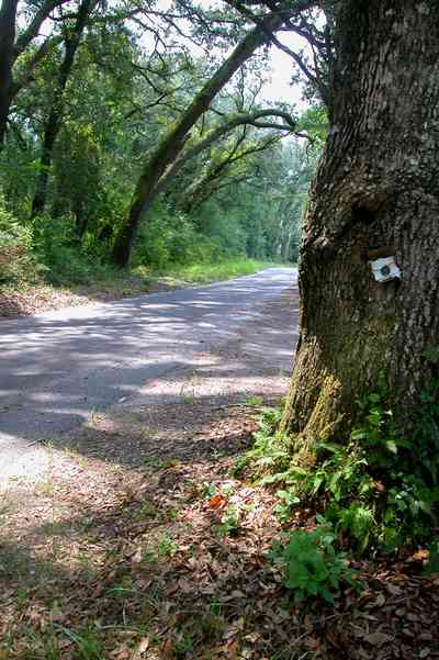 Milton:-Womack-Road_03.jpg:  oak tree, winding road, country road, forest