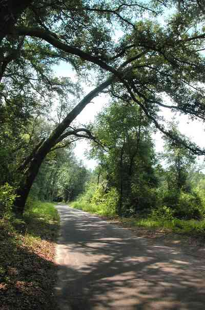 Milton:-Womack-Road_04.jpg:  oak tree, narrow road, country road, two-lane road