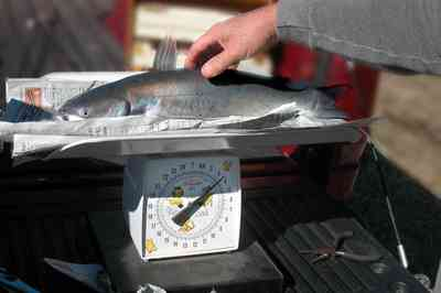 Oak-Grove:-Carpenters-Catfish-Farm_02.jpg:  weigh-in, scales, fish, catfish, pond, farm
