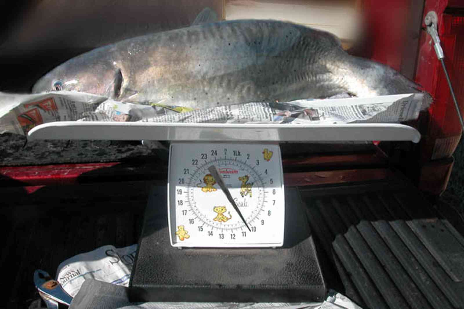 Oak-Grove:-Carpenters-Catfish-Farm_04a.jpg:  weigh-in, catfish farm, scales