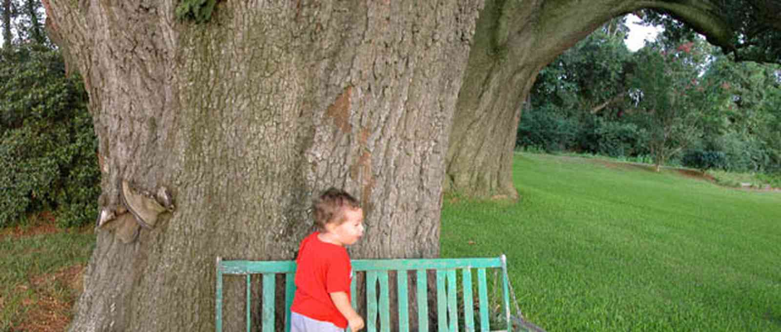 Pace:-Three-Oaks-Farm_05.jpg:  specimin oak tree, giant oak tree, bench, child, john michael roush, farm, farmland, peanut farm