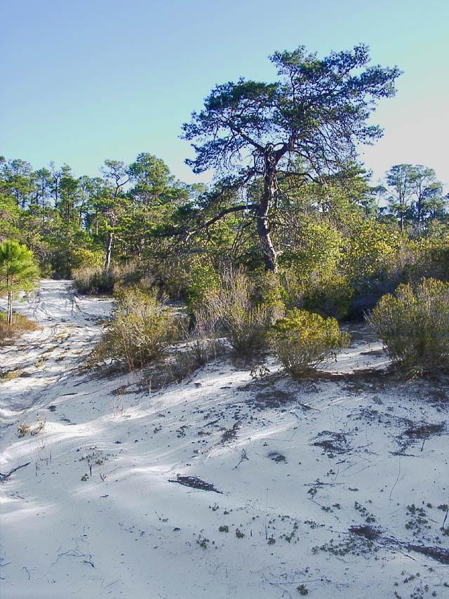 Image result for perdido scrub oak
