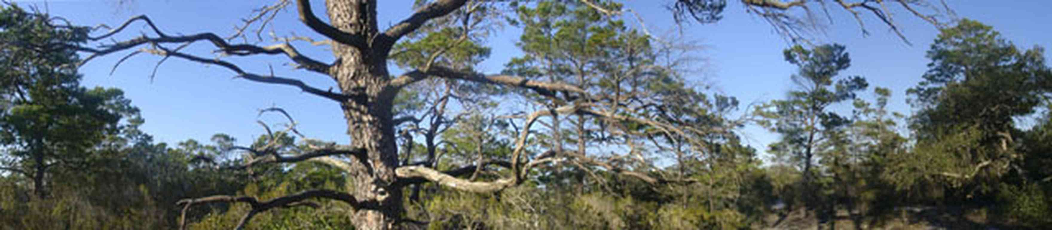 Perdido-Key:-Pine-Barrens_00.jpg:  pine tree, key, pine barrens, pine scrub forest, canopy of trees