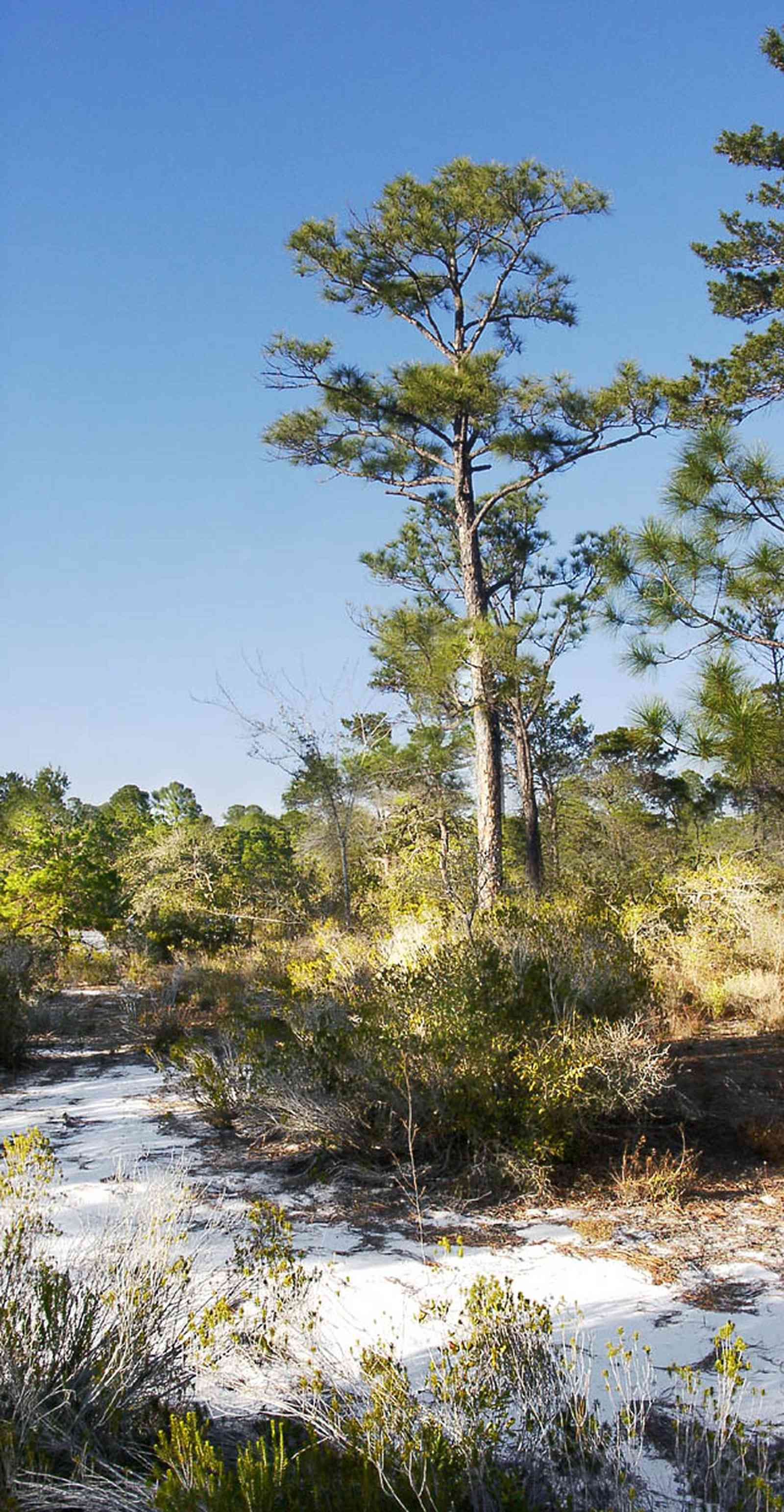 Perdido-Key:-Pine-Barrens_00b.jpg:  sand scrub pine forest, gulf coast, sand dunes, key, peninsula, florida rosemary, short-leaf pine tree