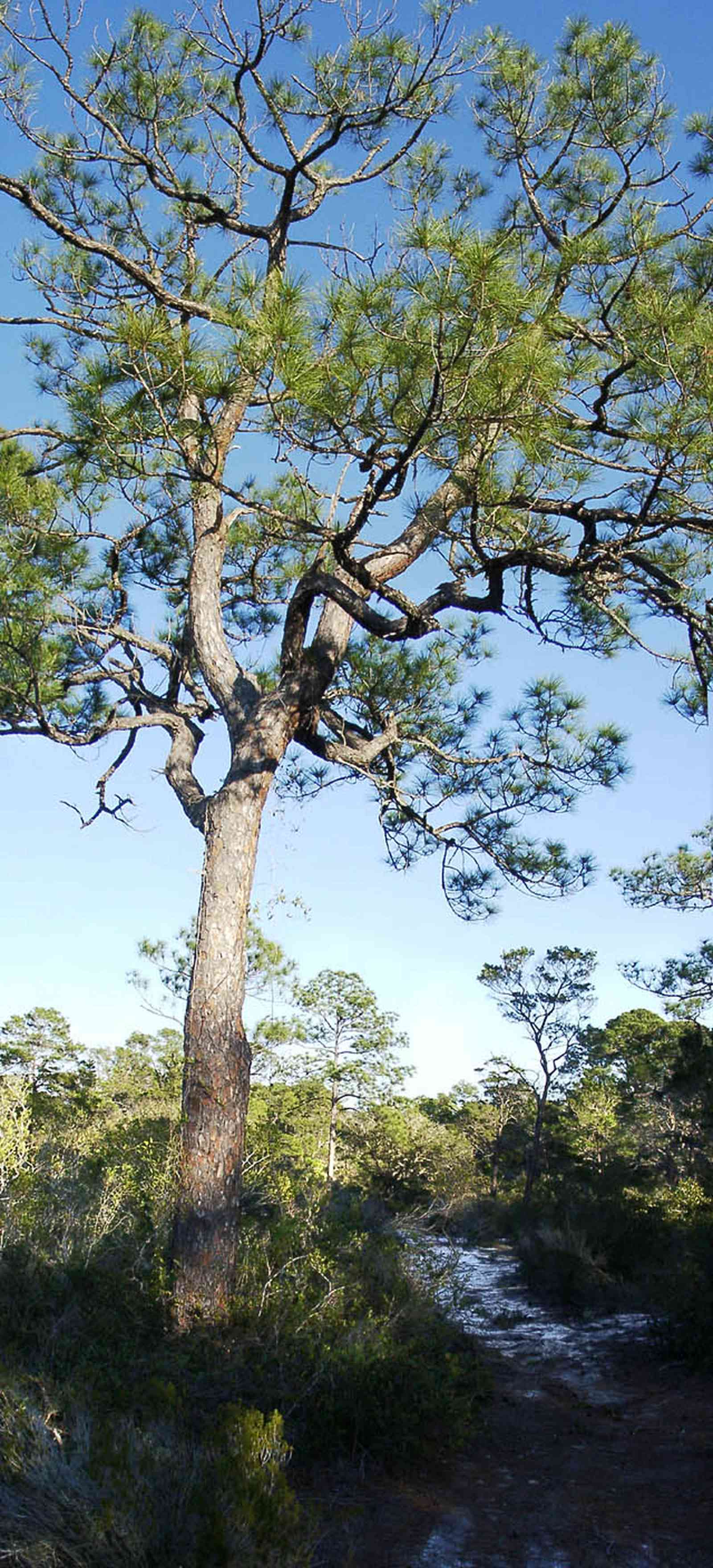 Perdido-Key:-Pine-Barrens_01.jpg:  short leaf pine tree, scrub pine forest, sand dune, florida rosemary, gulf coast, key, peninsula