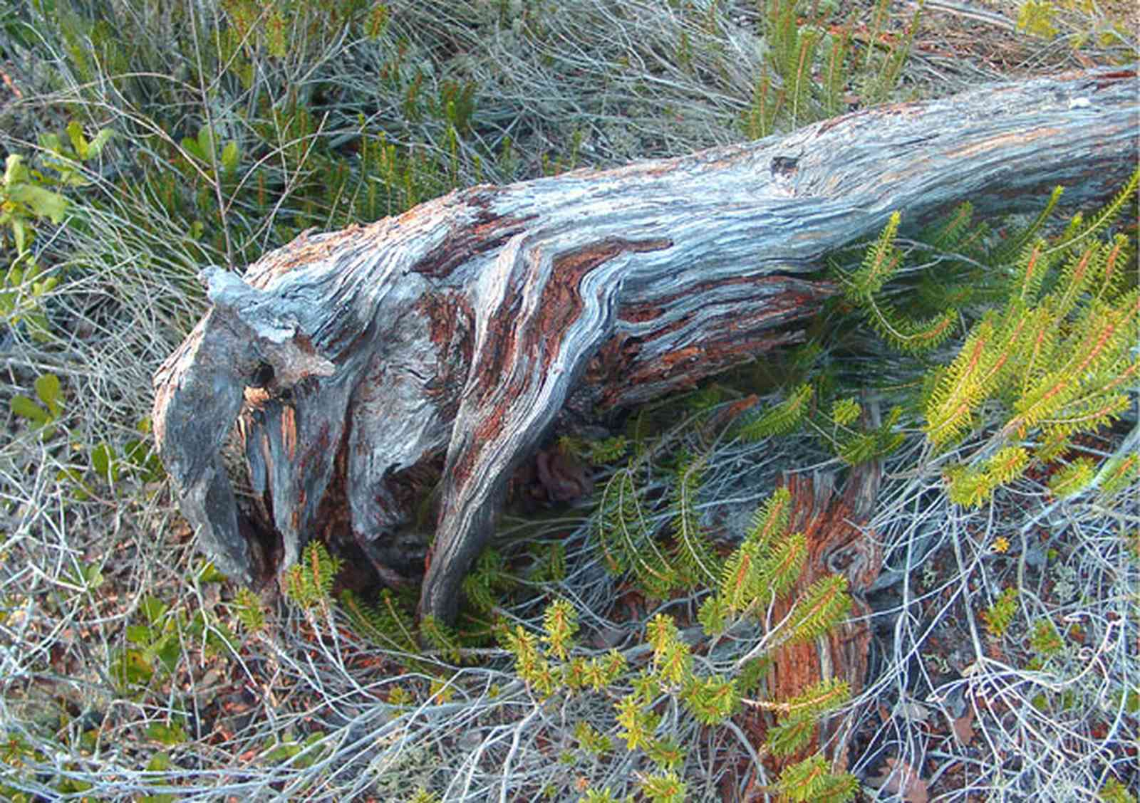 Perdido-Key:-Pine-Barrens_07.jpg:  pine stump, florida rosemary
